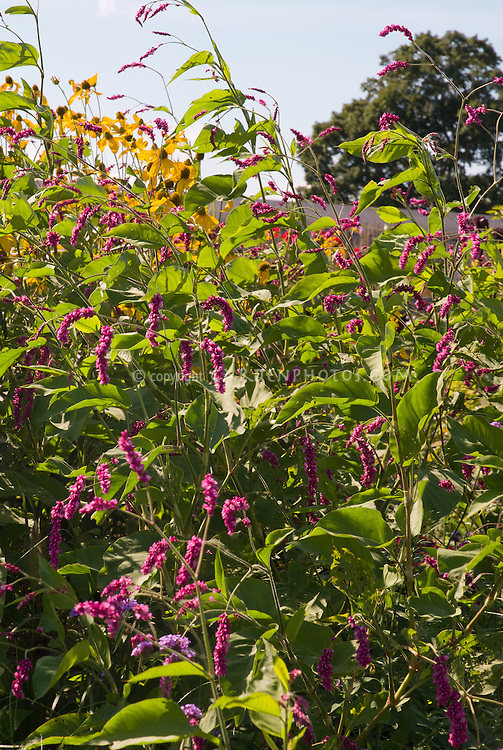 Persicaria Orientalis With Rudbeckia Herbstonne, Tall Flowering Plants  Agains Sky