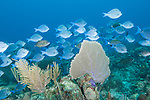 Gardens of the Queen, Cuba; a polarized aggregation of Blue Tangs and Doctorfish swimming over the coral reef