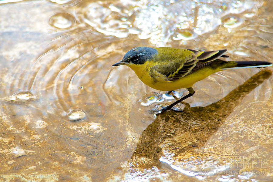 Bathing Western Yellow Wagtail