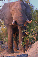 Front view of African Bull Elephant displaying anger in the Okavango Delta, Botswana Africa