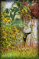 Fall colors and vines on the open door barn in Cameron, NC