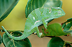 Green Chameleon, just shed skin, on leaf, West Africa Gambia.Animal.Nature.Wildlife.Behaviour.Colourful.Reptile.Reptiles.P-REP030-3.Robert Pickett.www.papiliophotos.com  Tel: +44 (0)1227 360996.PLEASE READ OUR LICENCE TERMS. ALL DIGITAL IMAGES MUST BE DESTROYED UNLESS OTHERWISE AGREED IN WRITING....