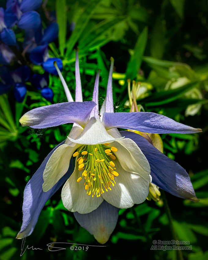 Columbine above Crested Butte, Colorado.  If it's summer and you're going to the Rocky Mountains of Colorado, you should plan on coming back with some columbine images.  It's the official state flower…  and they are more than happy to pose for a photo!<br /> <br /> Image ©2019 James D Peterson