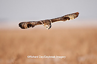 01113-01315 Short-eared Owl (Asio flammeus) in flight at Prairie Ridge State Natural Area, Marion Co., IL