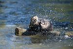 River otters shaking off water, Washington