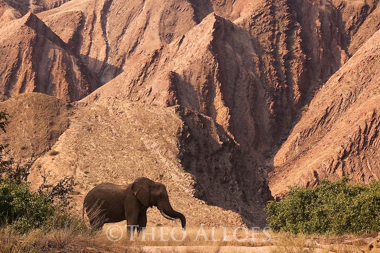 Namibia;  Namib Desert, Skeleton Coast,  desert elephant (Loxodonta africana) bull in front of  mountain