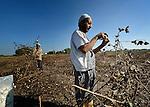 Farhoun Saad harvests cotton outside the Egyptian village of Sakra. Working behind him is Gatar Saad.