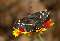 378430001 a wild bordered patch butterfly chlosyne acinia perches on a small flower in bob behrstcks yard in hereford cochise county arizona united states