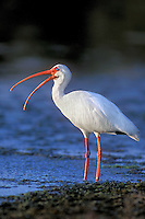 550507014 a wild adult white ibis eudocimus alba stands in an estuary in ding darling national wildlife refuge on sanibel island in south florida