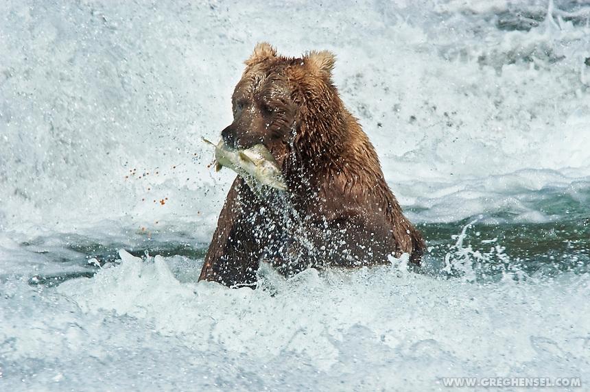 Coastal Brown Bear (Ursus arctos) catching Salmon in the rapids at McNeil Falls, McNeil River State Game Sanctuary, Alaska.