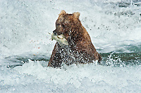 Coastal Brown Bear (Ursus arctos) catching Salmon in the rapids at McNeil Falls, McNeil River State Game Sanctuary, Alaska.
