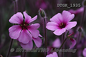 Gisela, FLOWERS, BLUMEN, FLORES, photos+++++,DTGK1935,#f#