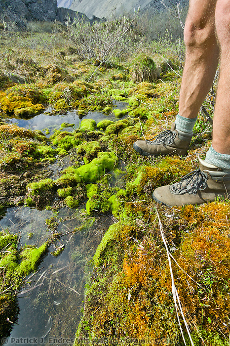 Moss in stream, Brooks Range mountains, Arctic National Wildlife Refuge, Alaska