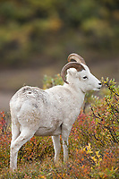 Dall sheep ram feeds on willow bushes in the brightly colored autumn tundra near Polychrome pass in Denali National Park, Alaska.