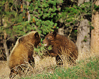 Grizzly bear (Ursus arctos) cubs wrestling, Greater Yellowstone ecosystem, Wyoming. May.