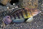 Amblygobius phalaena, Banded goby, Lembeh, Indonesia
