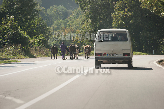 Herding cattle on the highway--travel over the mountains from Mojkovac to Moraca  River Canyon through the Sinjajevina Range, Montenegro
