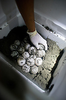 Roger Eduardo Picardo Sanchez  a local conservationists, places the rescued eggs from that night´s patrol into styrofoam incubators. On patrol with police and conservationists to protect Turtles laying eggs from armed and dangerous poachers, some who are thought to have recently murdered conservationist Jairo Mora.  Costa Rica Wildlife Sanctuary run by Vanessa Lizano and her family. Moin, Limon, Costa Rica.