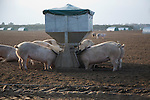 Free range pig farming, Sutton Heath, Suffolk, England