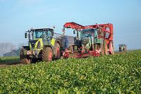 Harvesting Sugar Beet, Grimme Rootster 604 trailed harvester - Lincolnshire, December