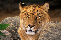 655809030 a ligress an artificially produced offspring of a male lion and a female tiger - animal is a wildlife rescue - species is not  found in the wild