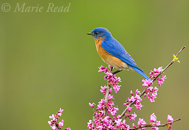Eastern Bluebird (Sialia sialis) male perched on flowering eastern redbud in spring, New York, USA