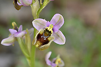 Sawfly Orchid - Ophrys tenthredenifera