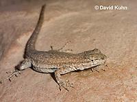 0613-1001  Side-blotched Lizard, Uta stansburiana (syn. Uta antiqua or Uta stellata)  © David Kuhn/Dwight Kuhn Photography