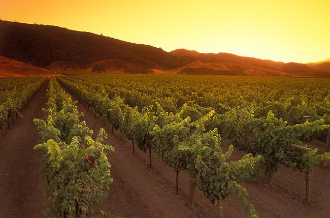 Vineyards near Yountville, Ca