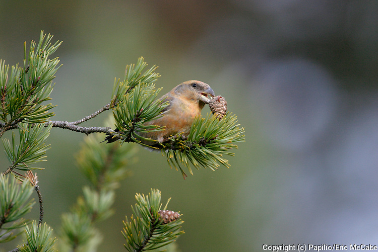Parrot Crossbill, Loxia pytyopsittacus, feeding on pine cone seeds, Speyside, Scotland
