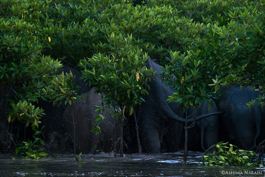 These elephants have traditionally lived in the hilly forests far behind the mangroves. Recently as the mangrove cover has increased they have begun to come to the water to play. The dense mangroves allow them to hide from humans, and escape into quickly. They are extremely rare to see, within WIF it was the 2nd sighting ever. These elephants have traditionally lived in the hilly forests far behind the mangroves. Recently as the mangrove cover has increased they have begun to come to the water to play (it is too saline to drink). The dense mangroves allow them to hide from humans, and escape into quickly. They are extremely rare to see, within WIF it was the 2nd sighting ever.