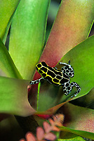 428930005v a captive variable poison arrow frog ranitomeya variabilis perch on a plant leaf in its terrarium in the long beach aquarium