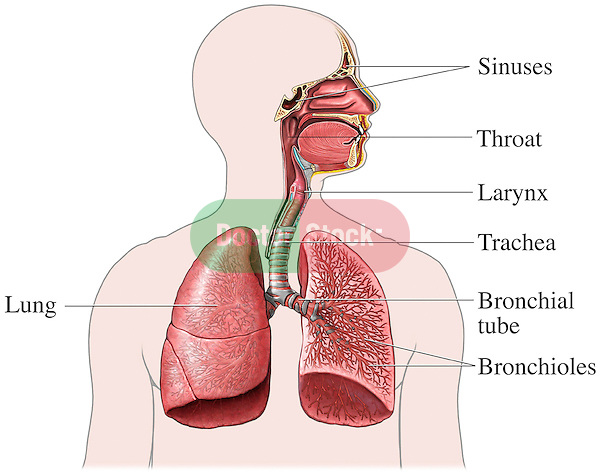 This exhibit features a single anterior view of the upper torso detailing the structures of the respiratory system. The path of air can be traced form its origin at the mouth and throat down to the bronchioles of the lungs. Labels include the sinuses, lungs, throat, larynx, trachea, bronchiole tubes and bronchioles.