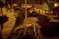 India. Uttar Pradesh state. Allahabad. Maha Kumbh Mela. A calf, a man walking and Indian Hindu devotee families sleeping at night. The Kumbh Mela, believed to be the largest religious gathering is held every 12 years on the banks of the 'Sangam'- the confluence of the holy rivers Ganga, Yamuna and the mythical Saraswati. The Maha (great) Kumbh Mela, which comes after 12 Purna Kumbh Mela, or 144 years, is always held at Allahabad. Uttar Pradesh (abbreviated U.P.) is a state located in northern India. 13.02.13 © 2013 Didier Ruef