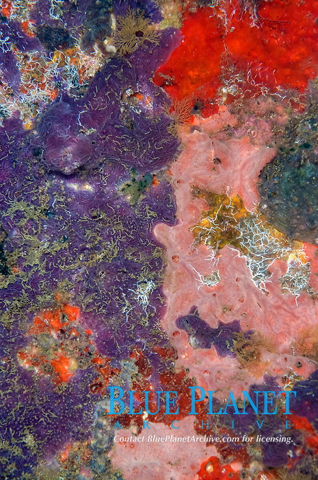 Sponges, Porifera Phylum, Forbidden Pier dive site, Ambon, Maluku, Indonesia, Banda Sea, Pacific Ocean