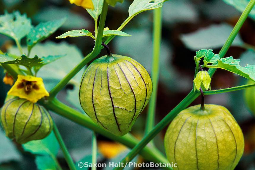 Tomatillo, vegetable in husk in organic garden