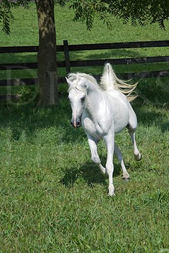 Picture of beautiful Arabian stallion running through the grass in the sunshine.