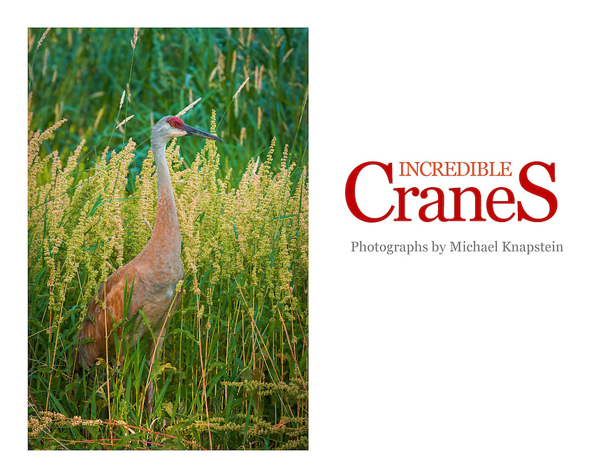Photographs of Sandhill Cranes and other cranes from Wisconsin. Most are taken in the wild at ponds near Middleton, Wisconsin, with a few also taken at the International Crane Foundation in Baraboo, Wisconsin.
