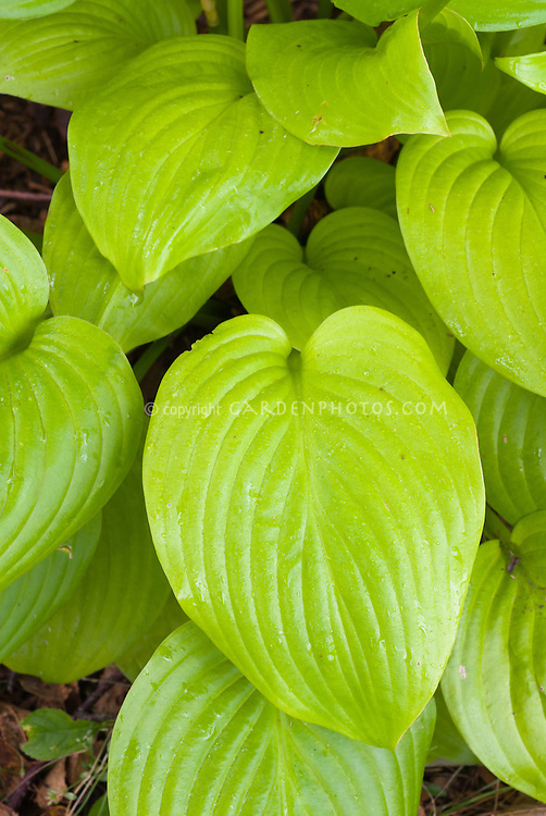 Hosta Fried Bananas a gold leaved sport of the 'Guacamole' hosta.