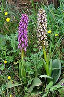 Riesenknabenkraut, Riesen-Knabenkraut, Roberts Mastorchis, Roberts Knabenkraut, Barlia robertiana, Himantoglossum robertianum, giant orchid, L'orchis géant