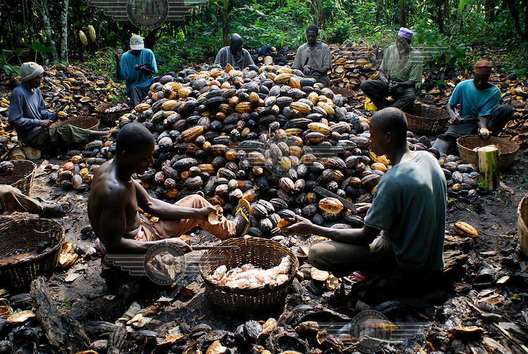 Kuapa Kokoo workers sit and split cocoa pods in order to ferment the beans. Kuapa Kokoo is a cocoa farmers' co-operative with 45,000 members spread across the forests of Kumasi. The farmers jointly own a 45 percent stake in the company, which is also a major stakeholder in the London-based fair trade company Divine Chocolate Ltd..