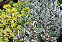 Thymus citriodorus lemon thyme Thymus Doone Valley with green and gold variegated leaves, Old English Lavandula angustifolia lavender, variegated Salvia officinalis Tricolor sage, herbs mixed planting, combination garden variegated foliages different kinds together
