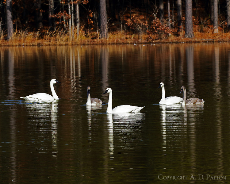 Group of adult and immature trumpeter swans