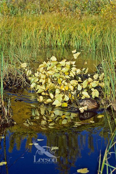 Beaver (Castor canadensis) hauling limb back to winter food cache. Fall. Saskatchewan. Canada.