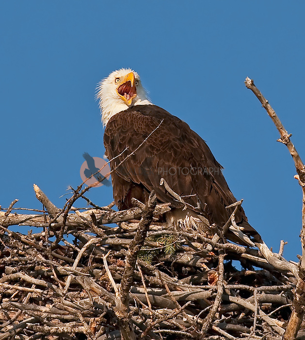 Adult Bald Eagle sitting in nest with it's mouth open, calling-inside of beak is visible