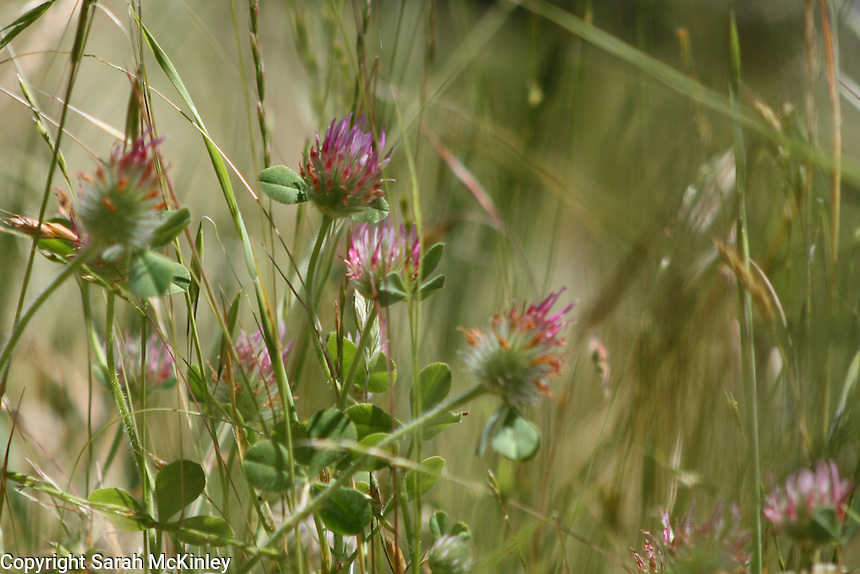 Red clover, a bit past its prime, growing in the grasses along Reynold's Highway outside of Willits in Mendocino County in Northern California.