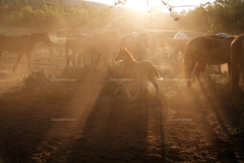 Dust rises and the mustang herd stirs in early morning on the Wild Horse Sanctuary.  <br />