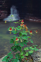 Canadian columbine and Natural Bridge<br />
