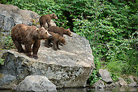 Female brown bear with three cubs attentively watching for the splash of salmon as they swim towards the opening of Wolverine Creek, Redoubt  Bay, Alaska.