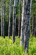 A stand of Quaking Aspen - (Populus tremuloides) - in Livermore, New Hampshire during the summer months.